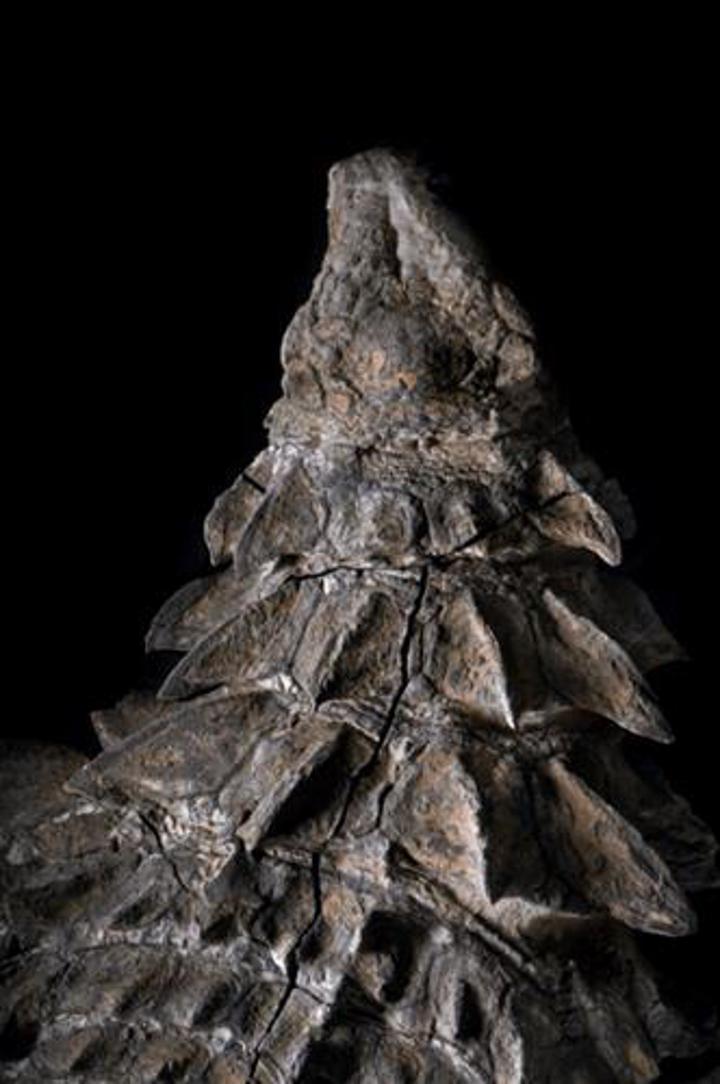 """Sekiz yıl önce bulunan """"dinozor mumyası"""", Kanada'da sergilenmeye başladı"""